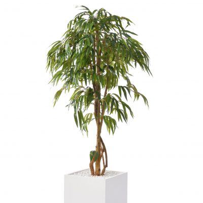 Ficus gross
