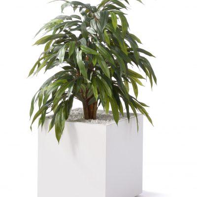 Ficus klein