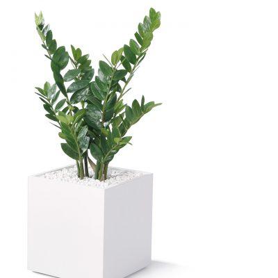Zamifolia klein